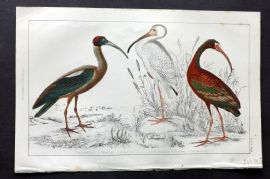 Goldsmith 1851 Hand Col Bird Print. Papillated, White & Metallie Ibis